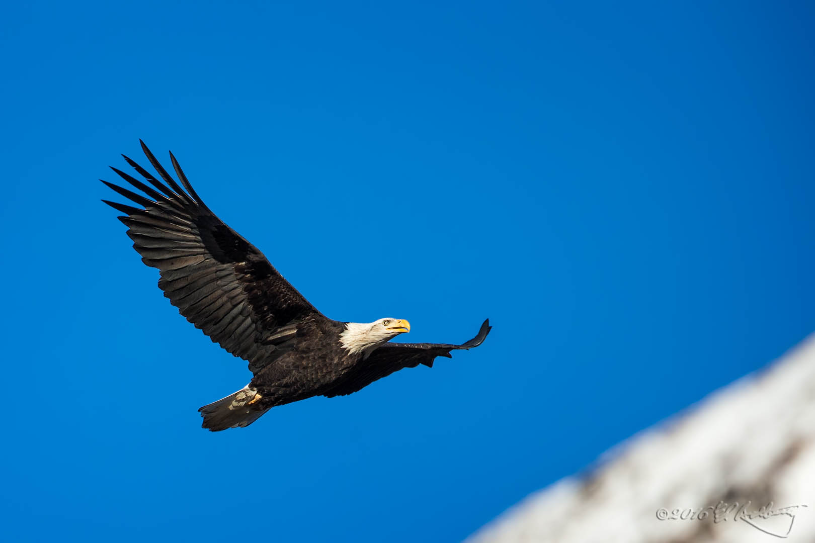 Bald Eagle IF 196
