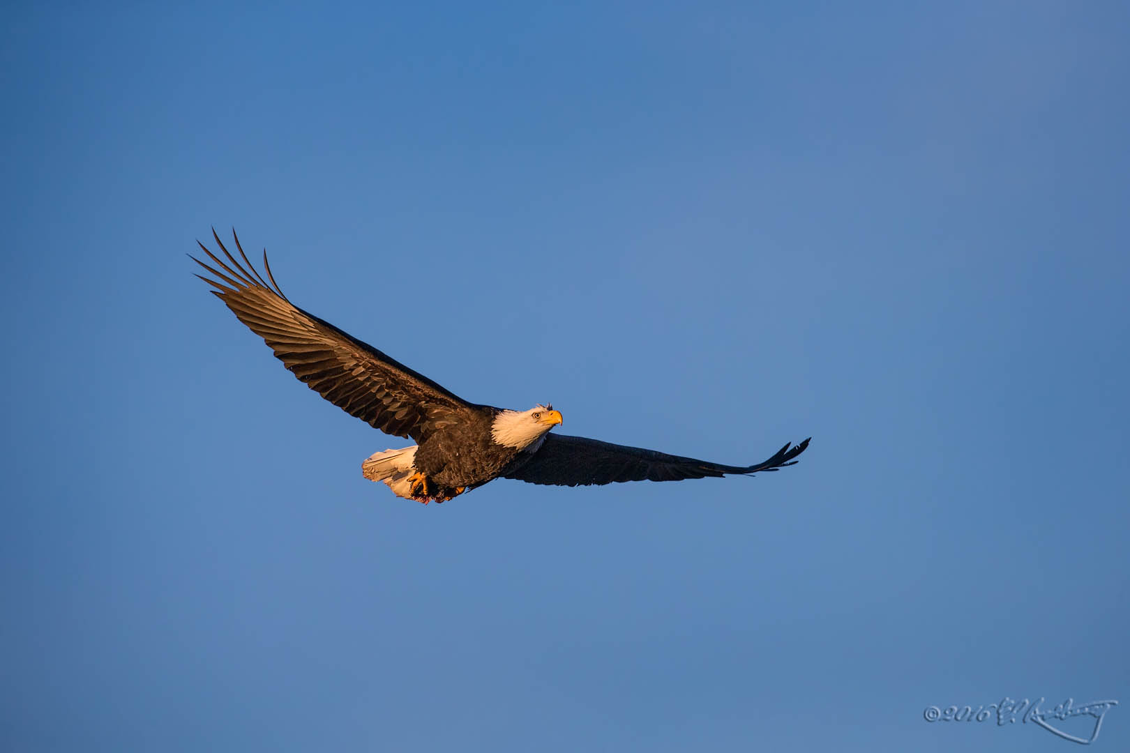 Bald Eagle IF 564