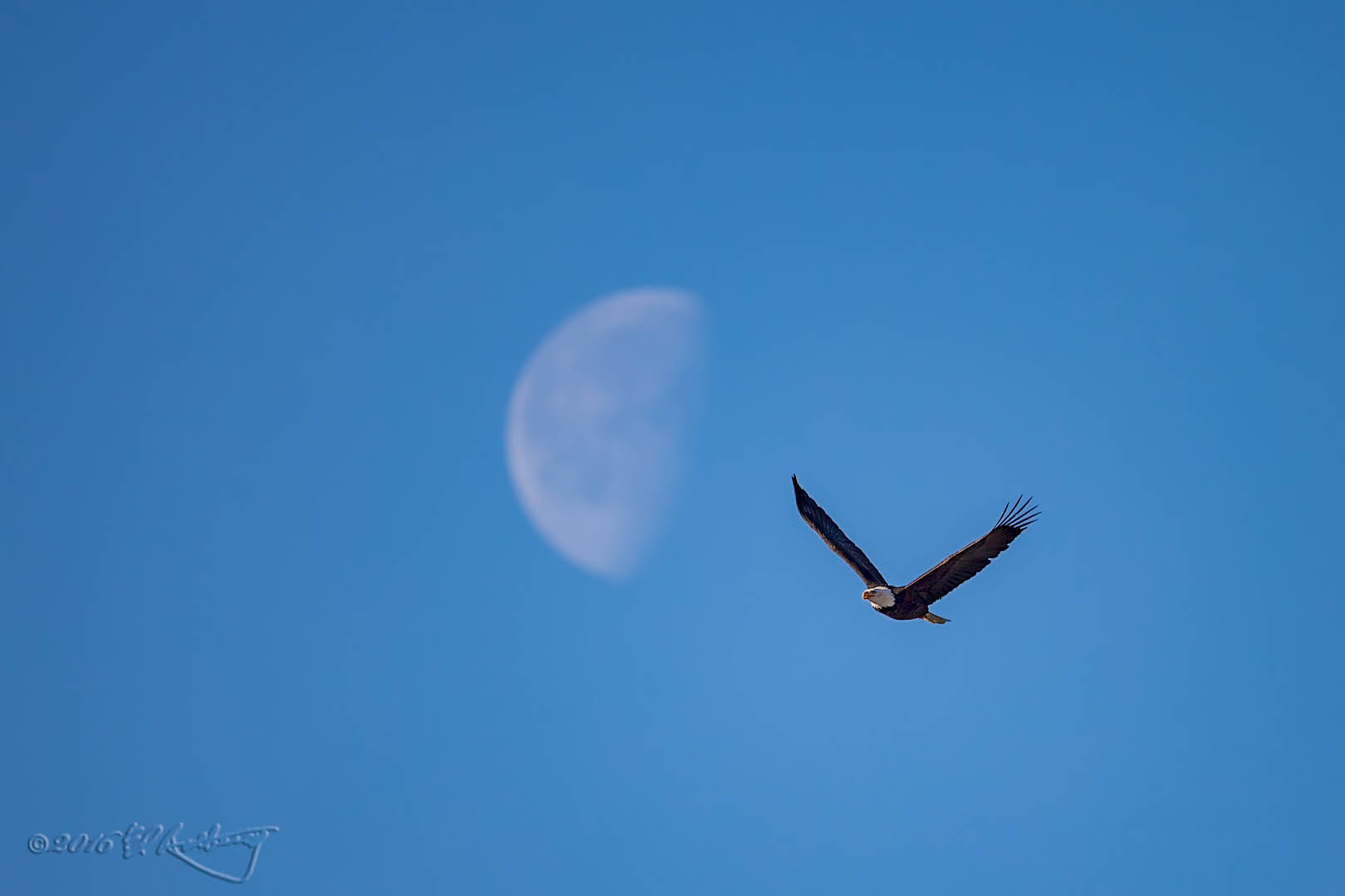 Bald Eagle IF against moon