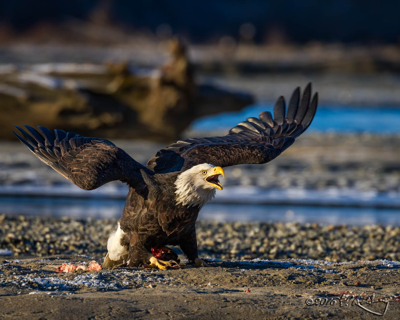 Bald Eagle defense
