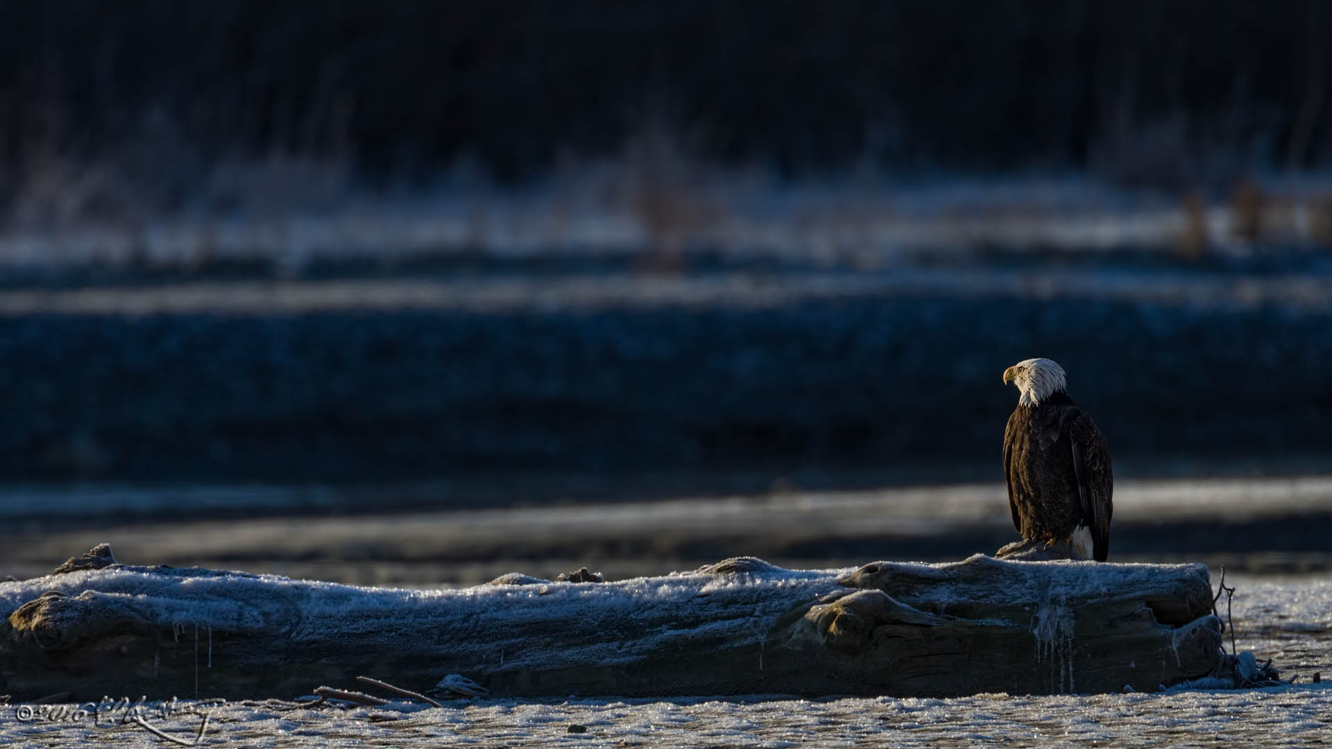 Bald Eagle - frigid perch