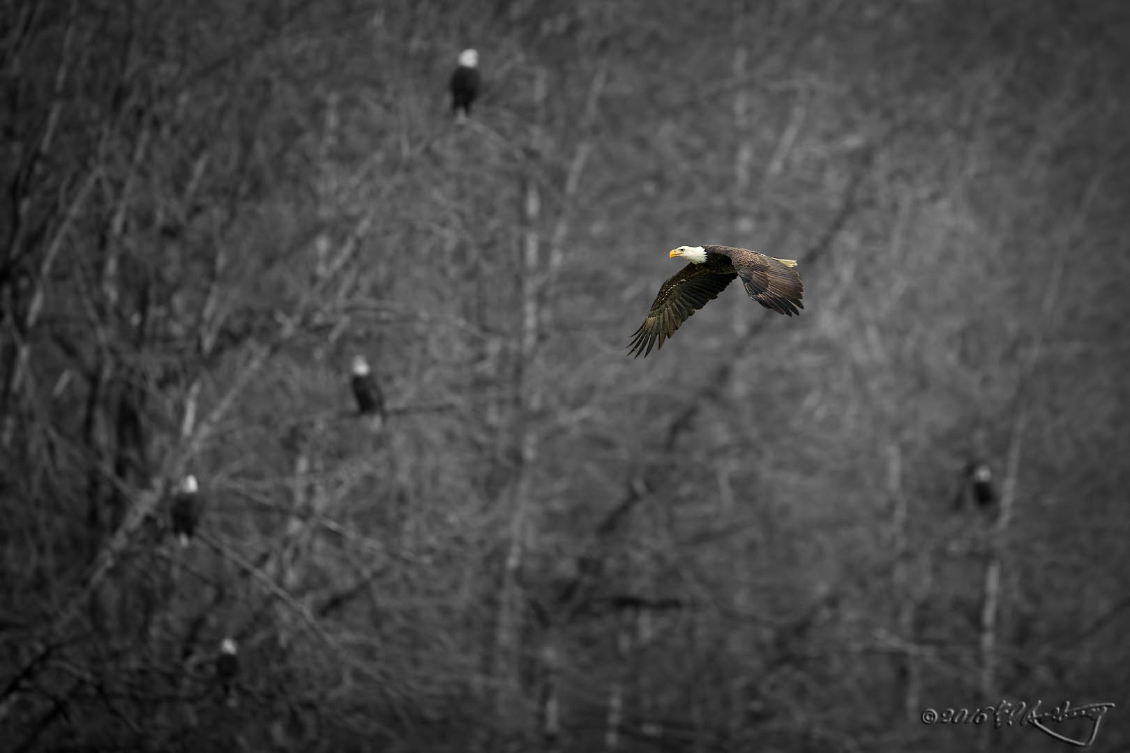 Bald Eagle in Eagle-land BW