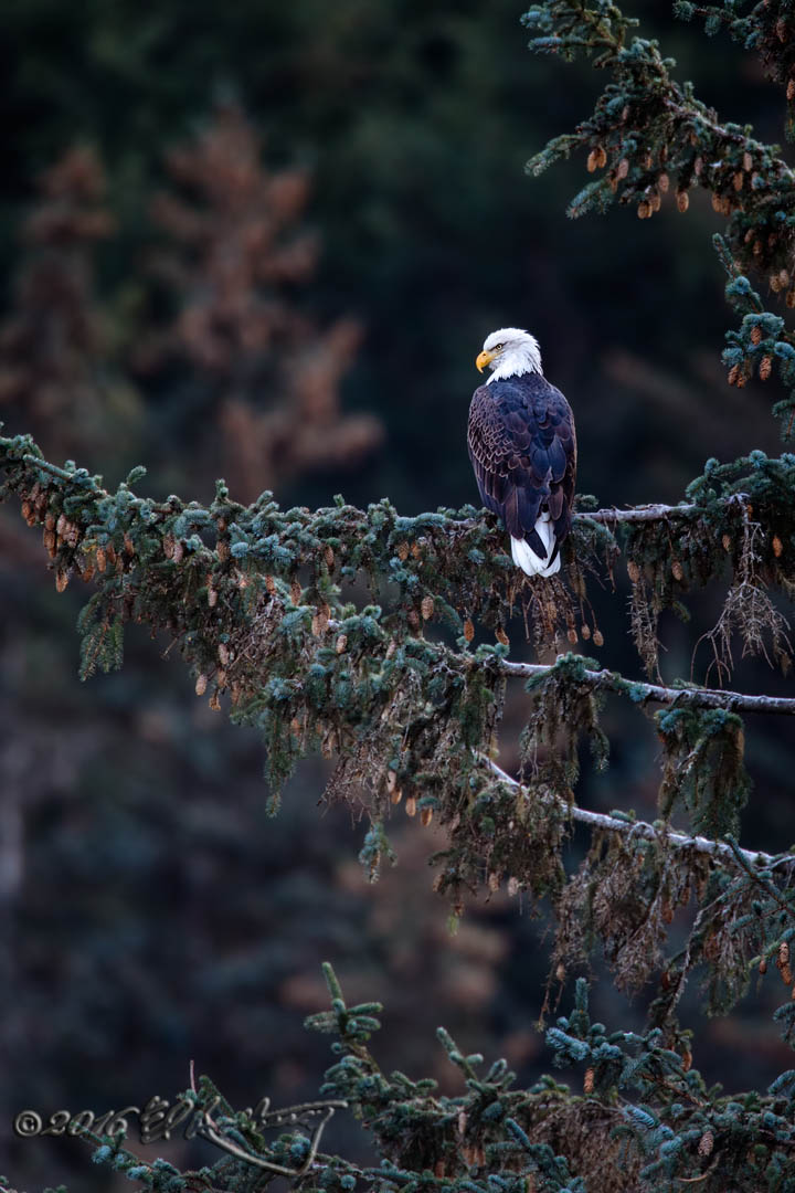 Bald Eagle perched in pine