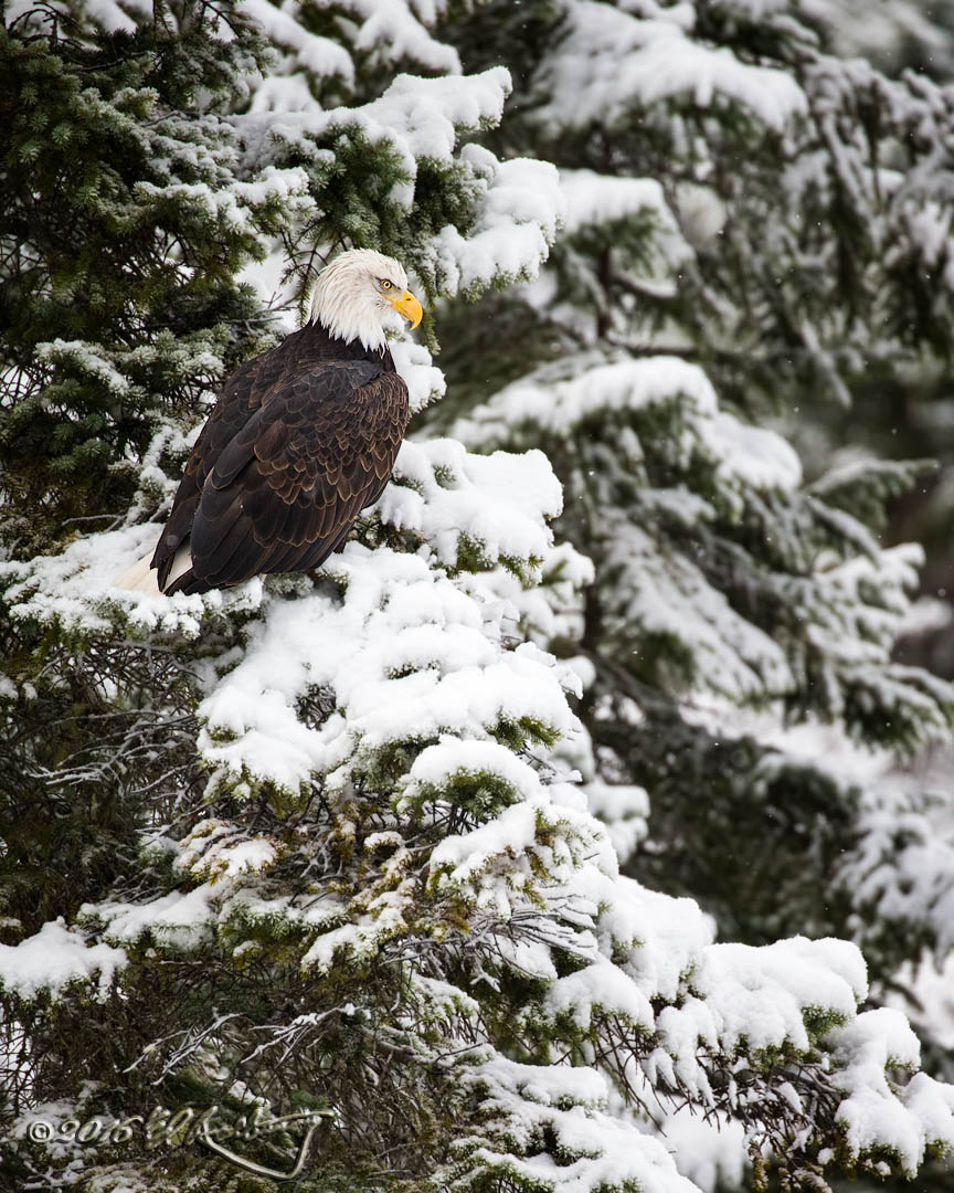 Bald Eagle perched on snowy trees