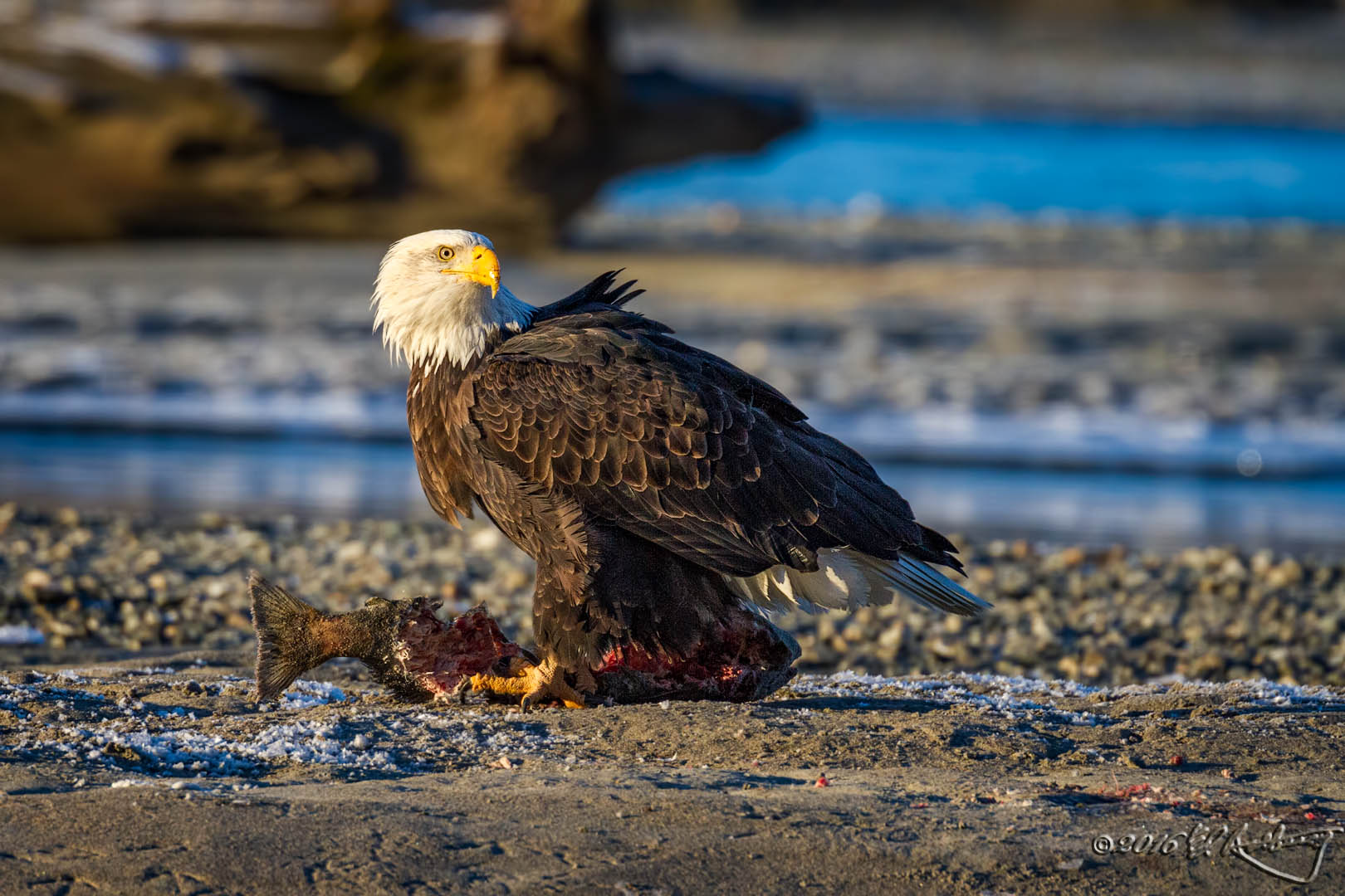 Bald Eagle stands over salmon