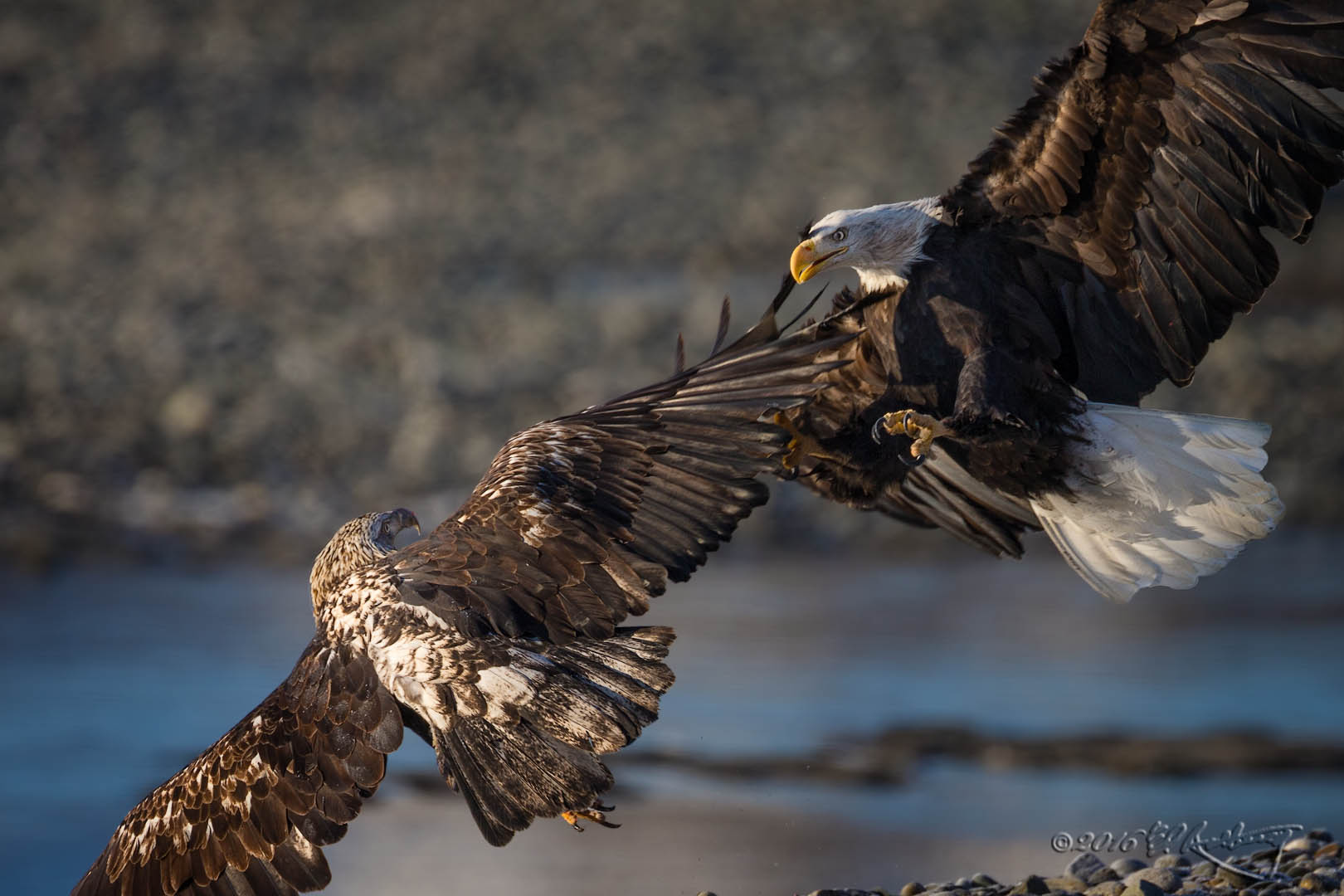 Bald Eagles attack 5