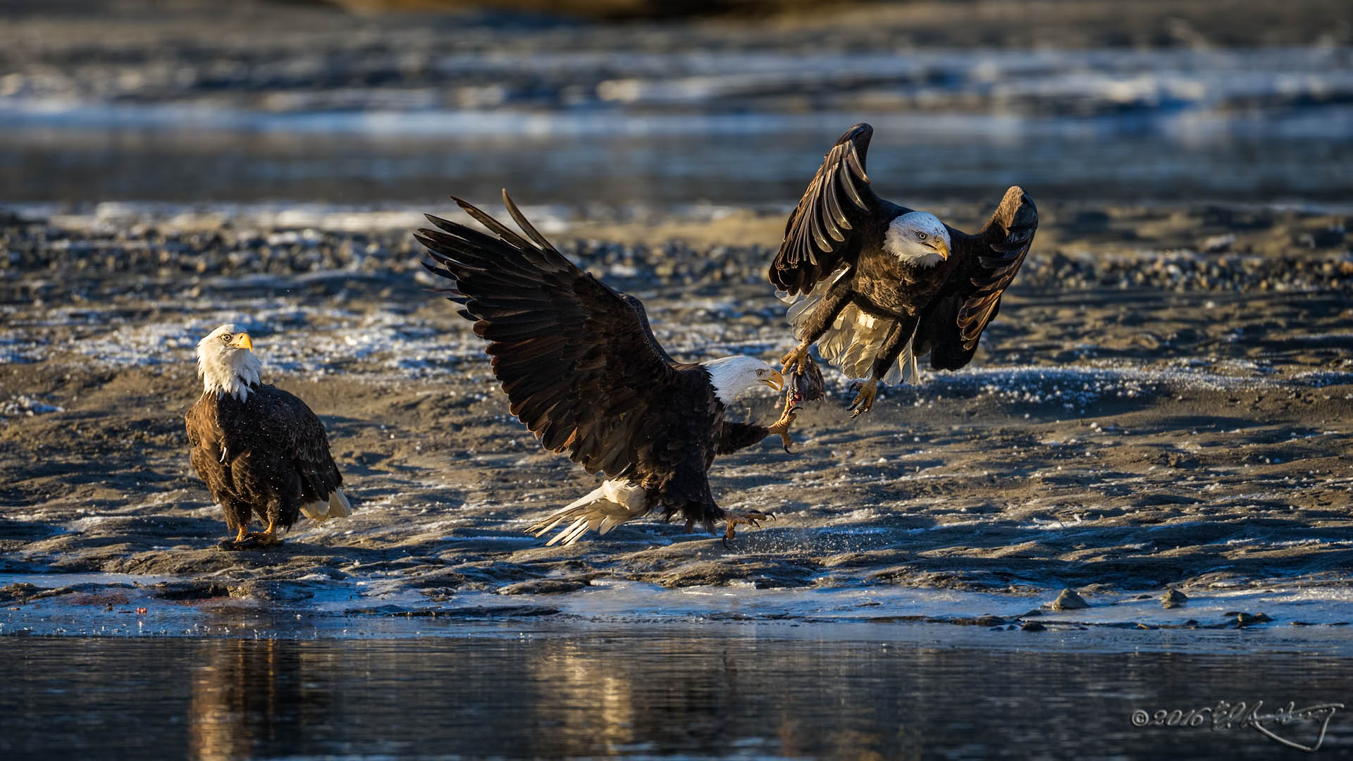 Bald Eagles fish fight 1