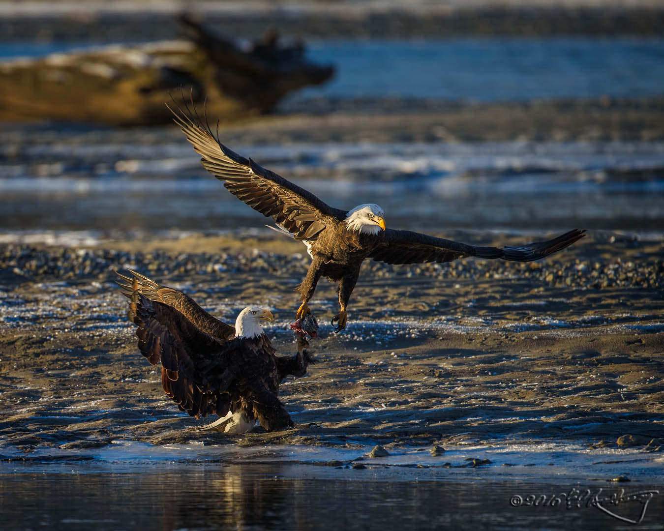 Bald Eagles fish fight 3