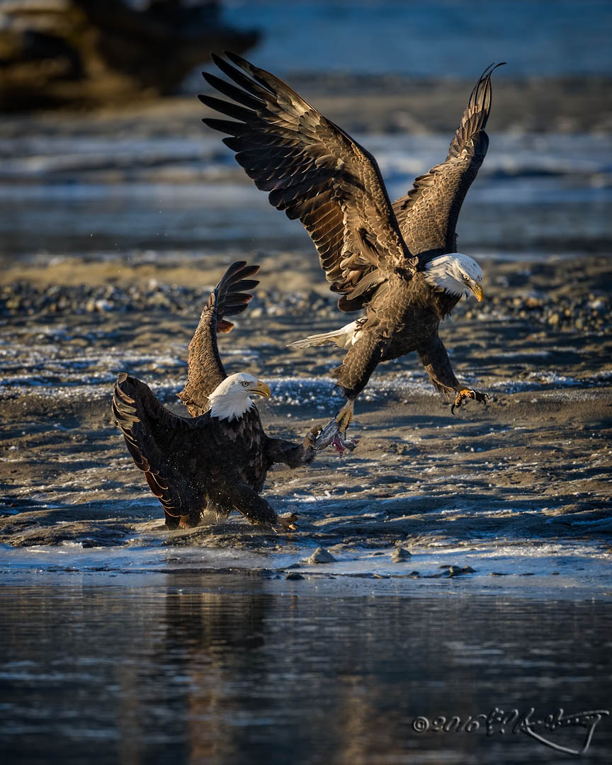 Bald Eagles fish fight 2