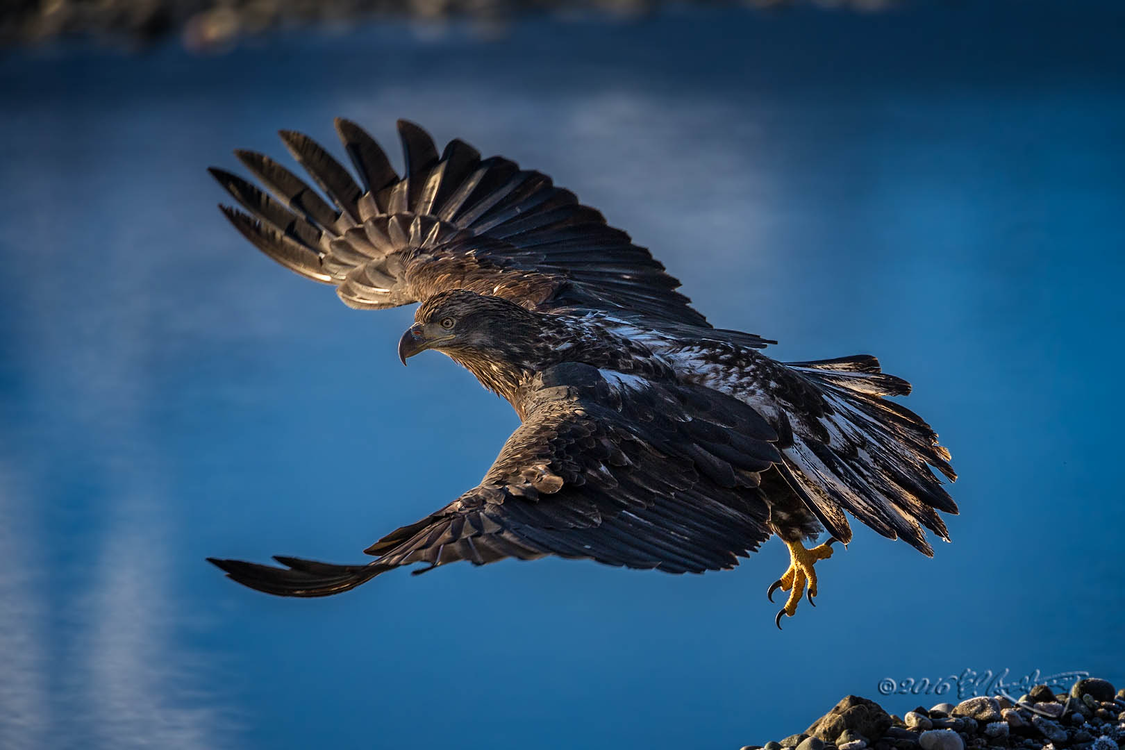 Juvenile Bald Eagle IF 129