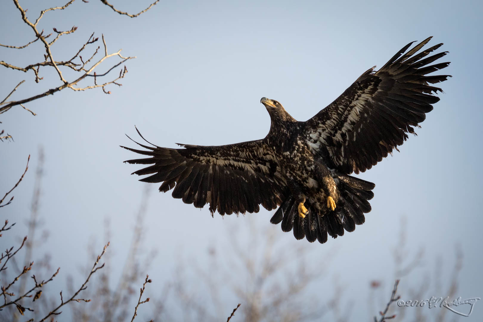 Juvenile Bald Eagle aproaching perch