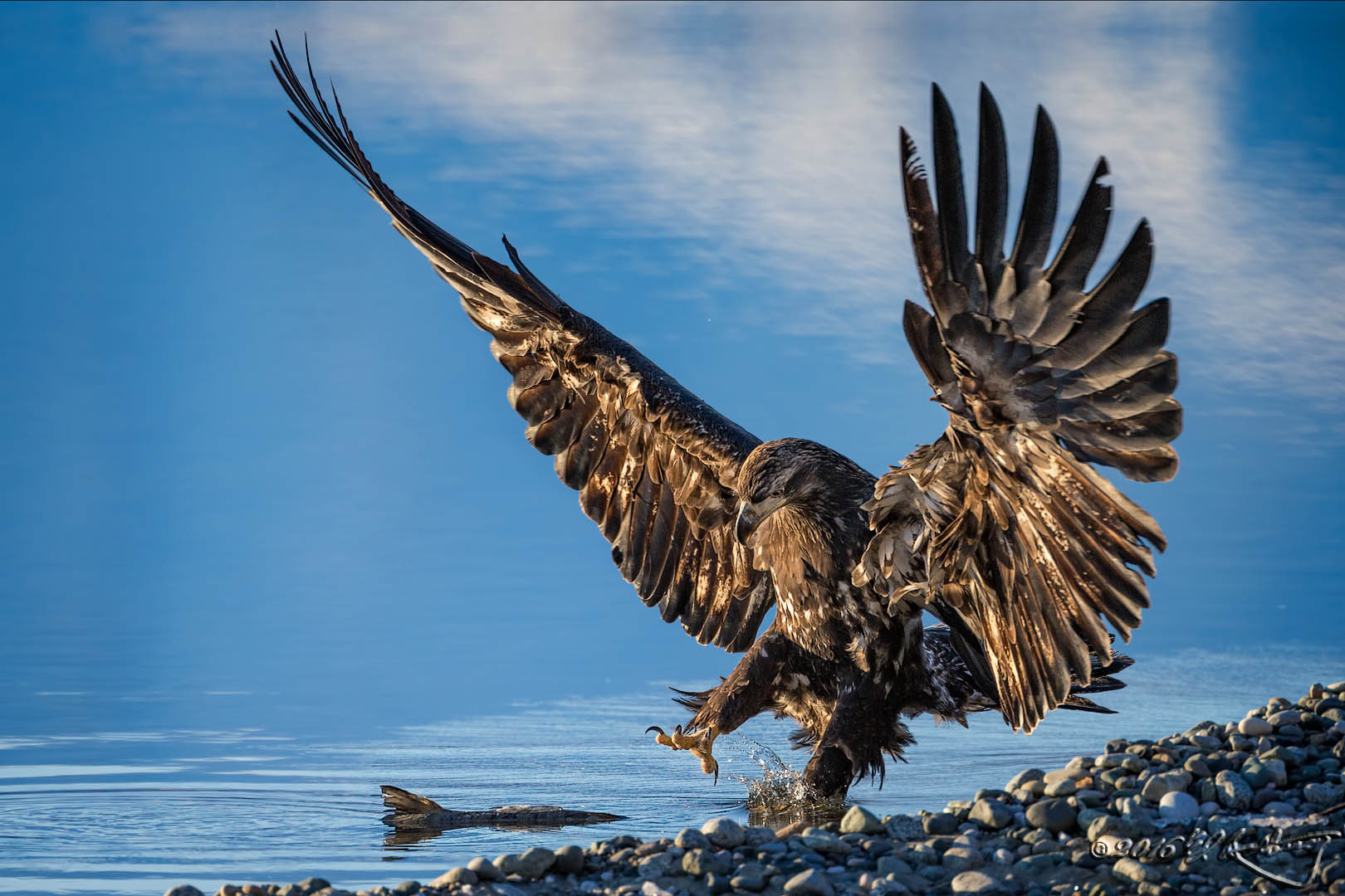 Juvenile Bald Eagle takes salmon