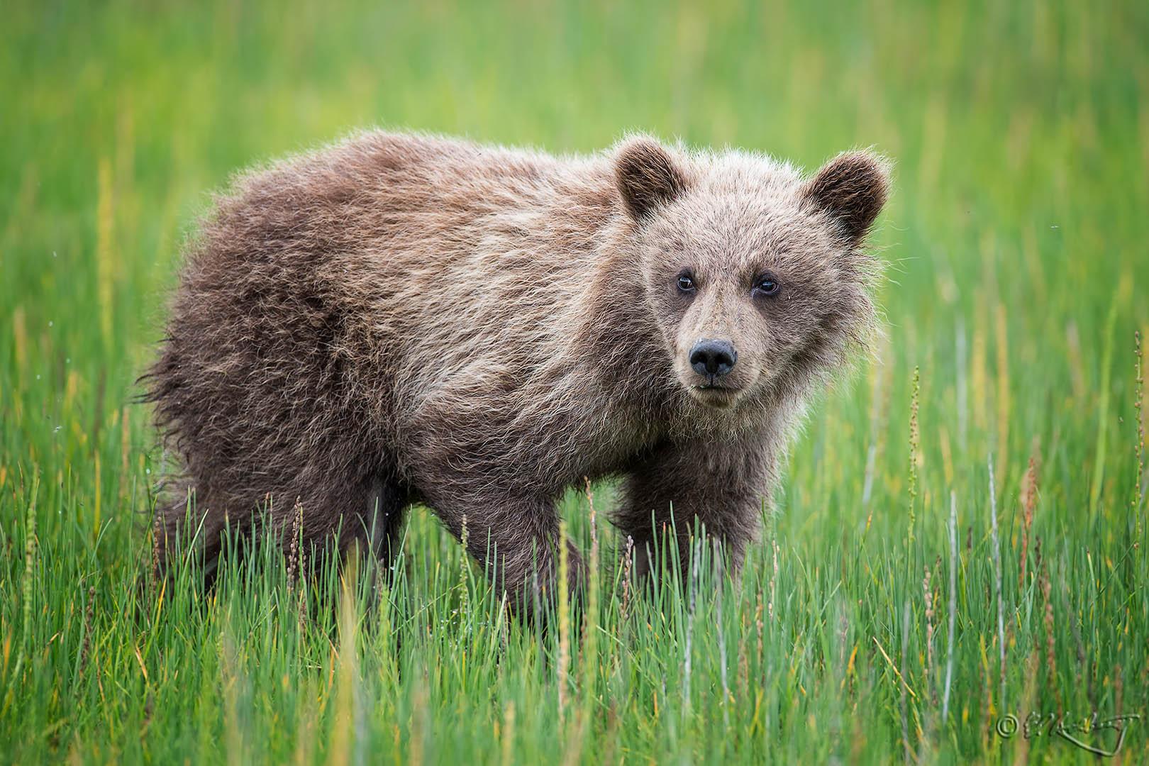 Grizlly_Cub_-_curious