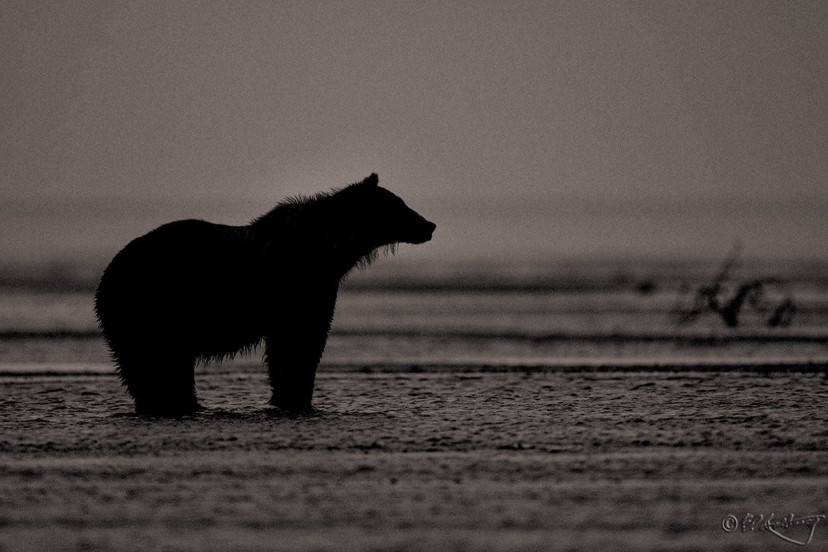 Grizzly_Bear_before_dawn