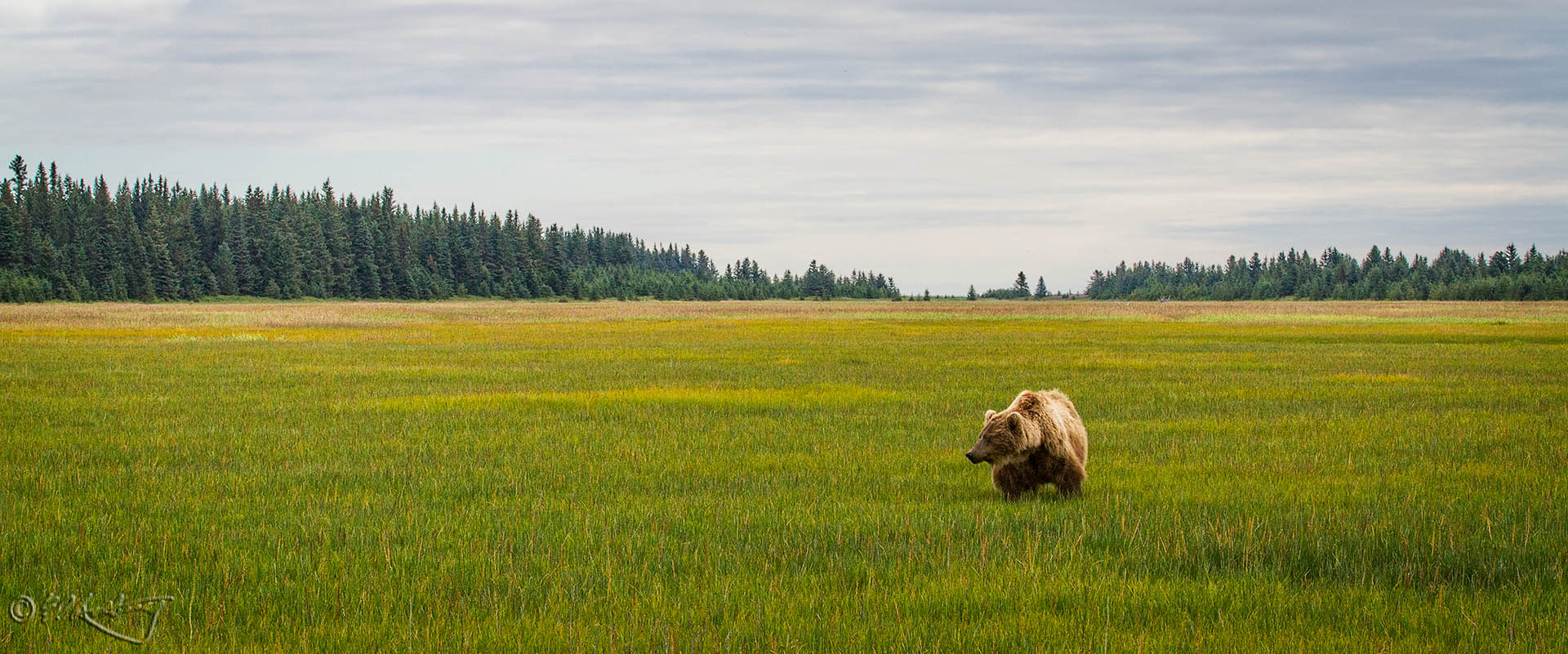 Grizzly_Bear_on_sedge_field