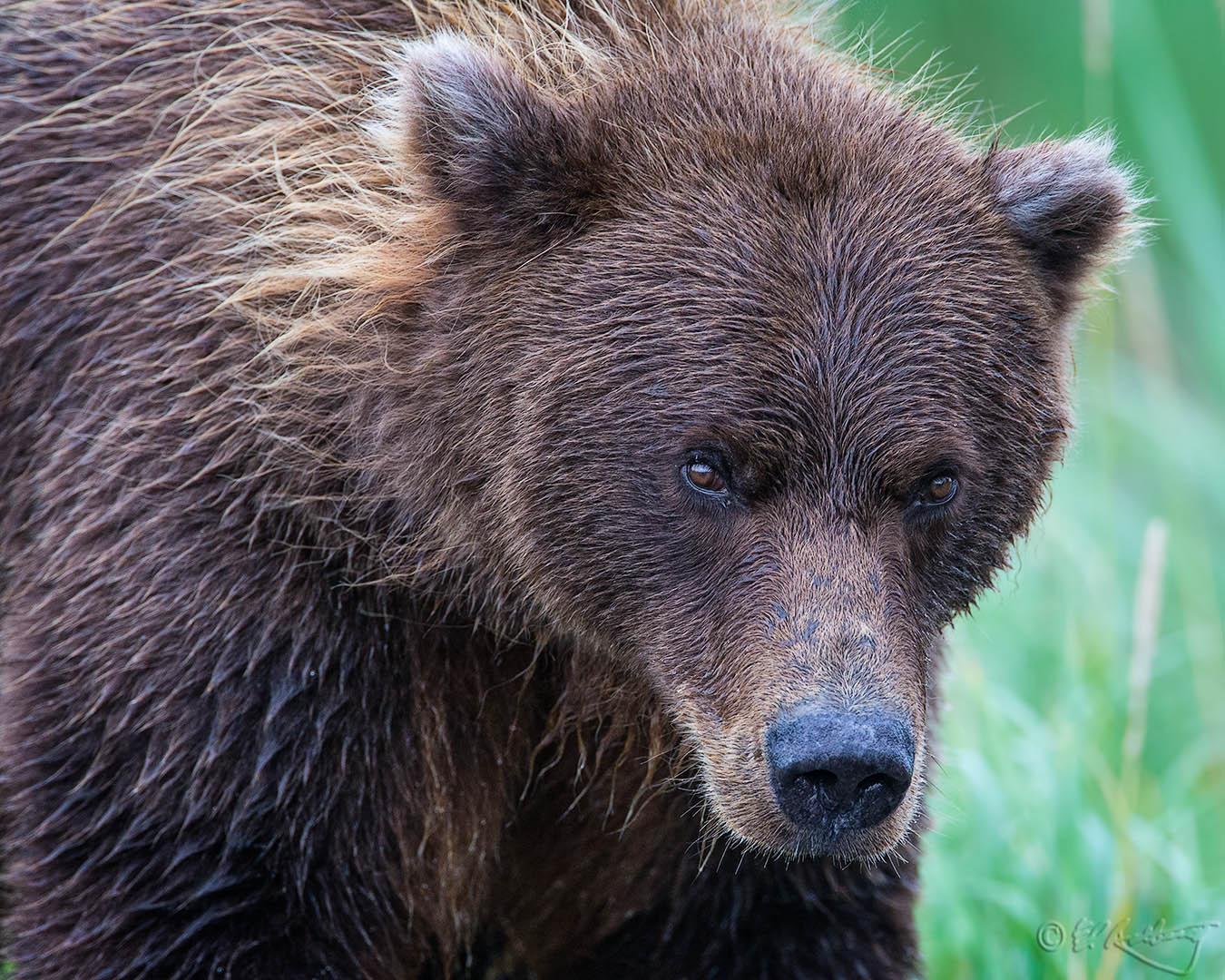Grizzly_Bears_-_Crimp_Ear_portrait