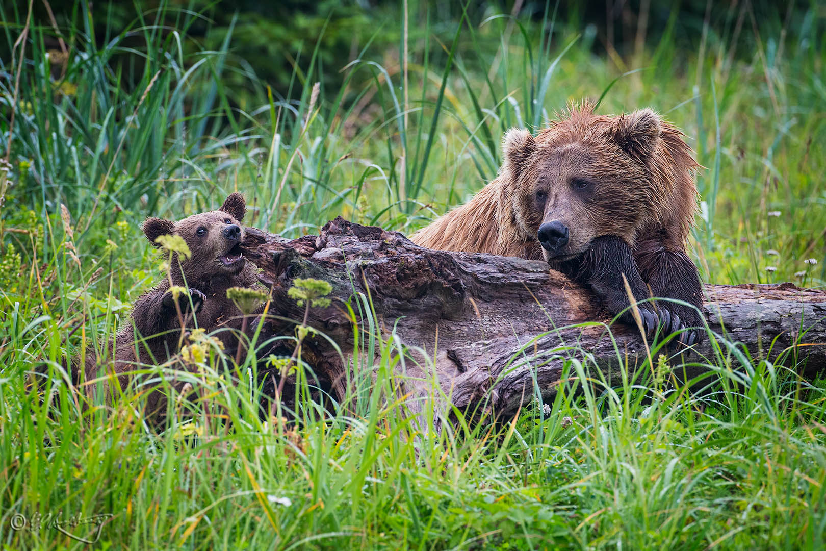 Grizzly_Bears_-_cubs_chews_on_log