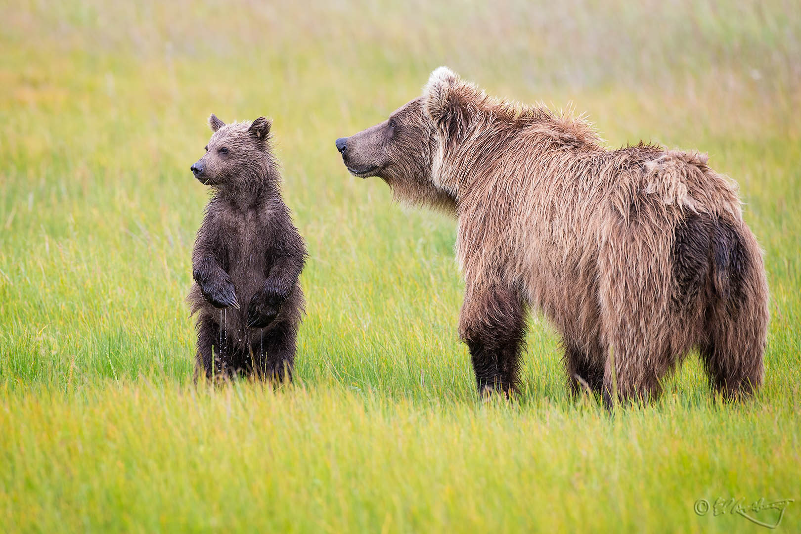 Grizzly_Bears_-_danger