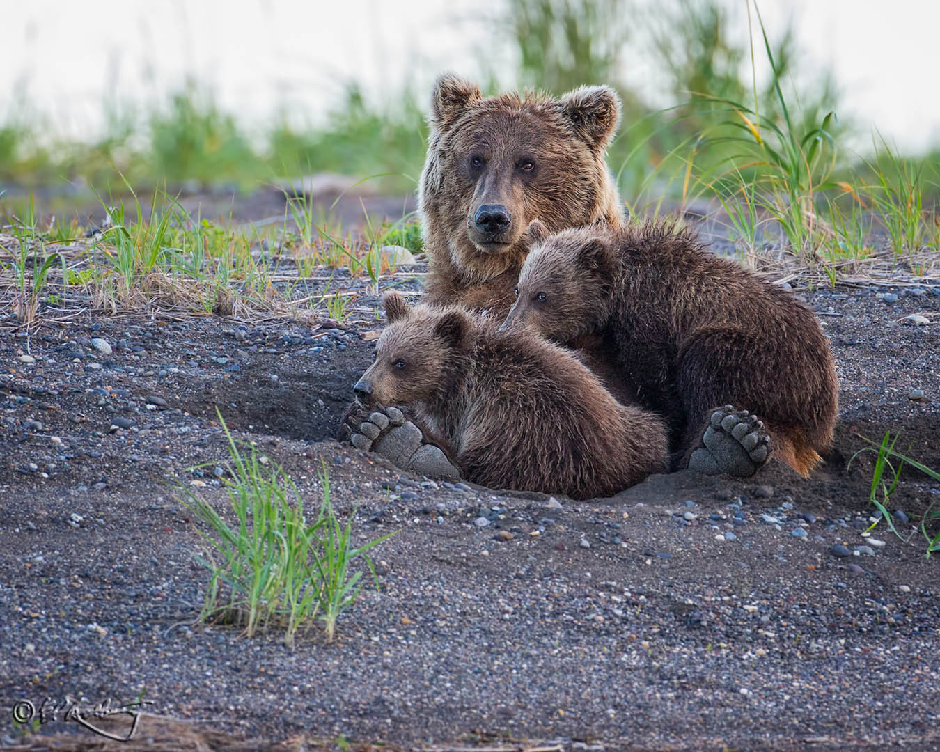 Grizzly_Bears_-_feet