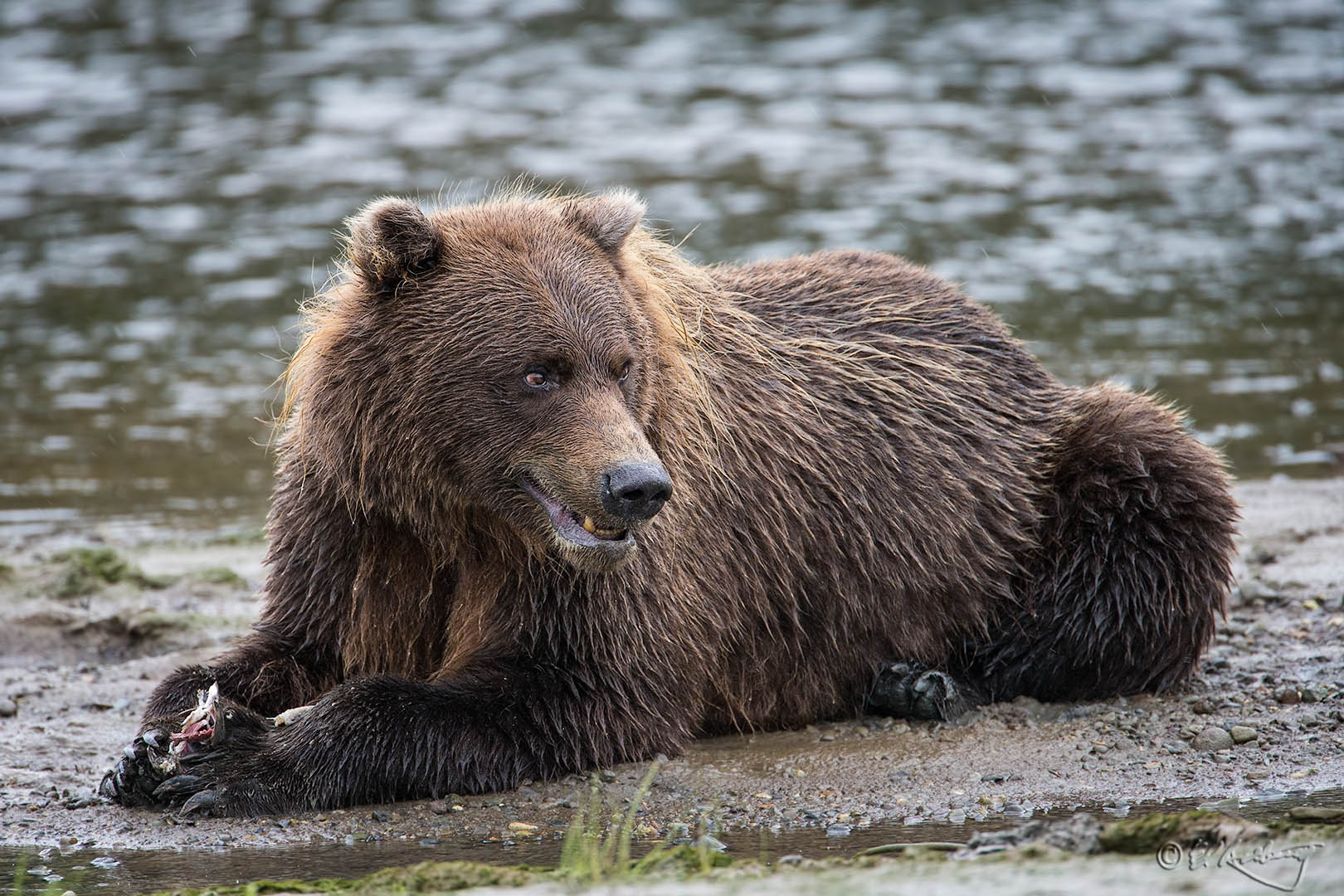 Grizzly_Bears_-_my_fish