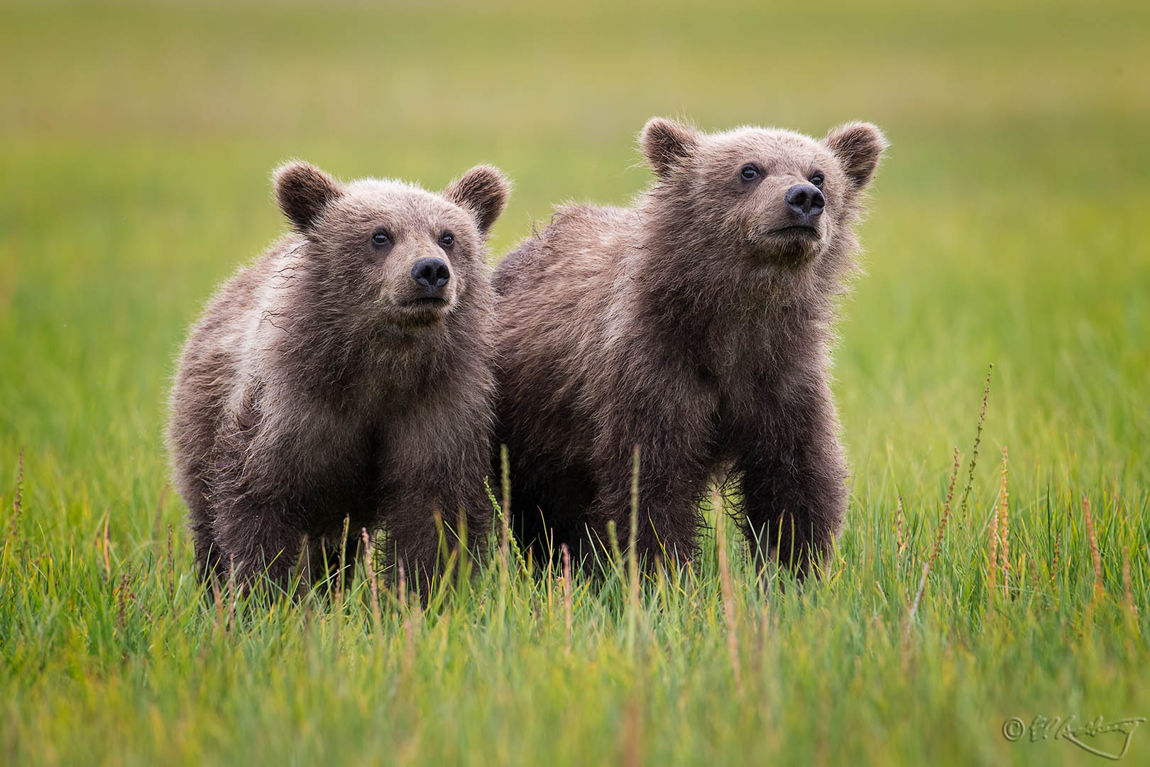 Grizzly_Cubs-c25