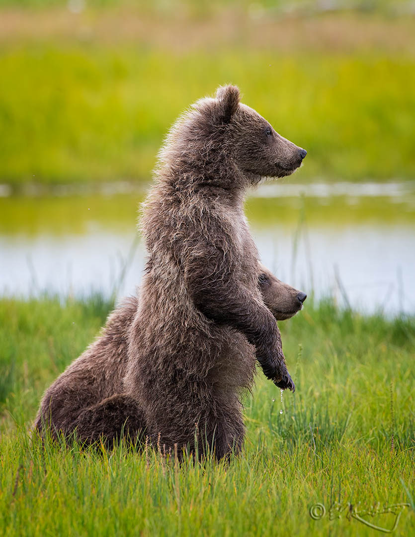 Grizzly_Cubs_on_alert