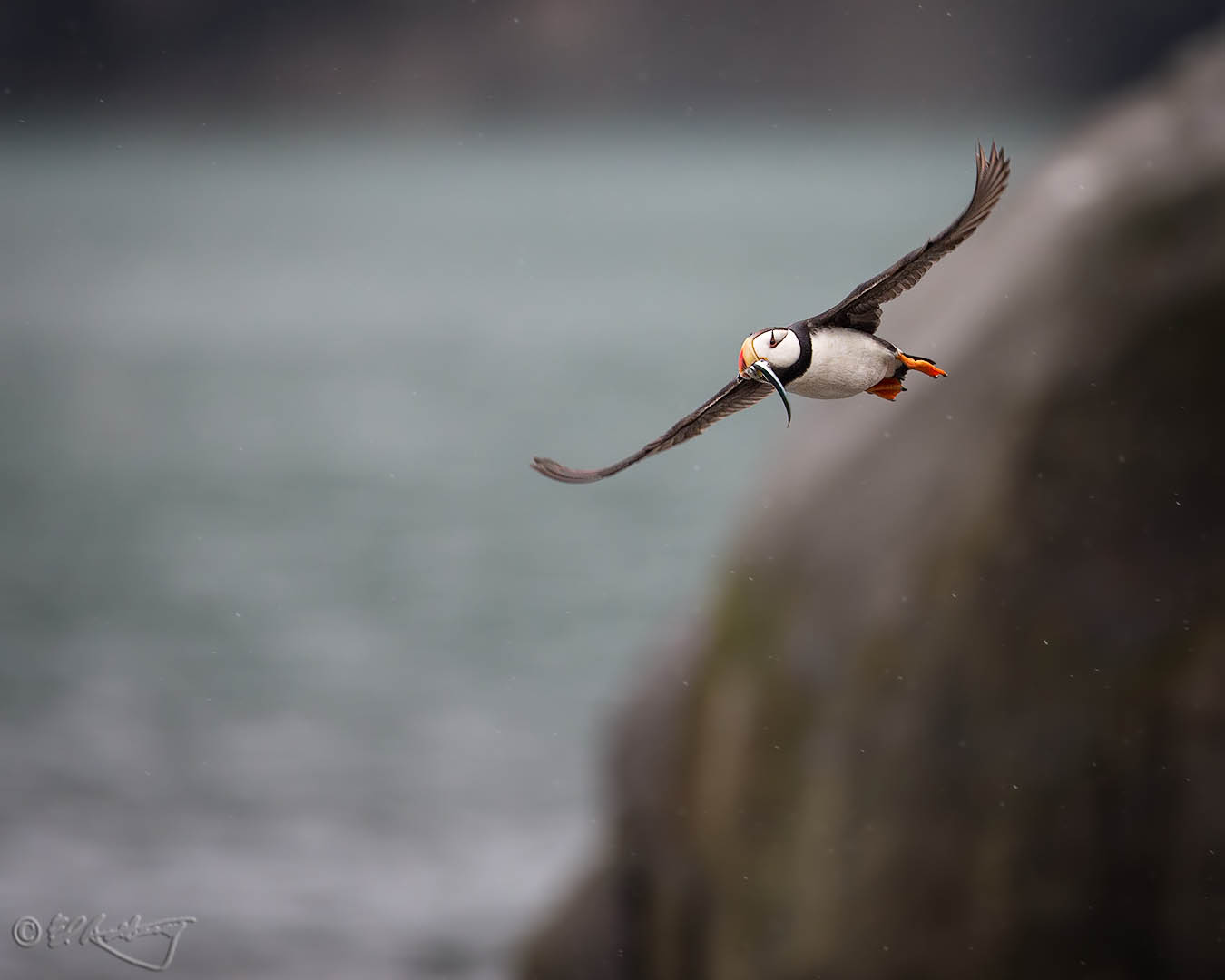 Pacific_Puffin_in_flight_w_sand_eels_3