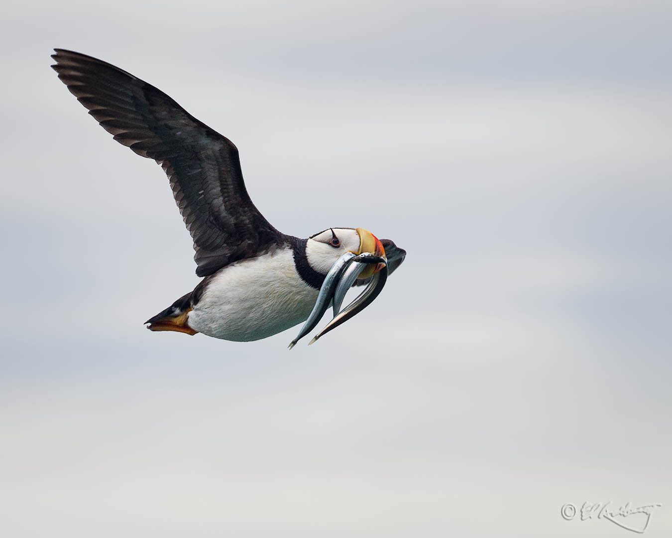 Pacific_Puffin_in_flight_with_sand_eels