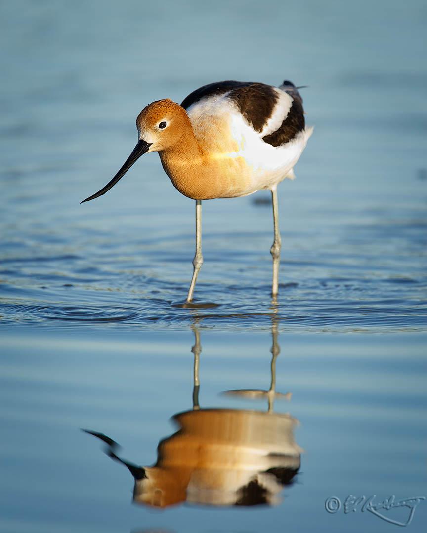 American_Avocet_breeding_plumage