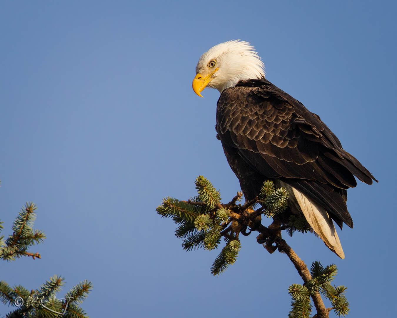 Bald_Eagle_perched