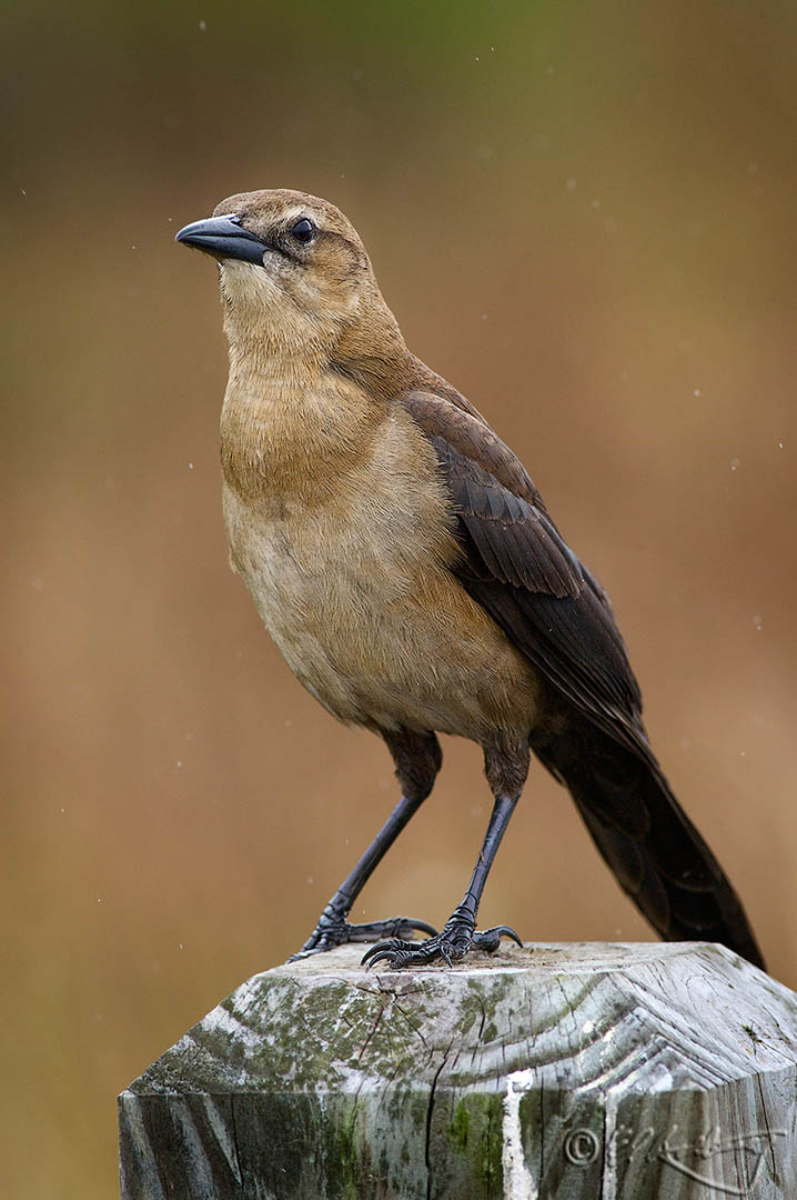 Boat-tailed_Grackle_female-c15