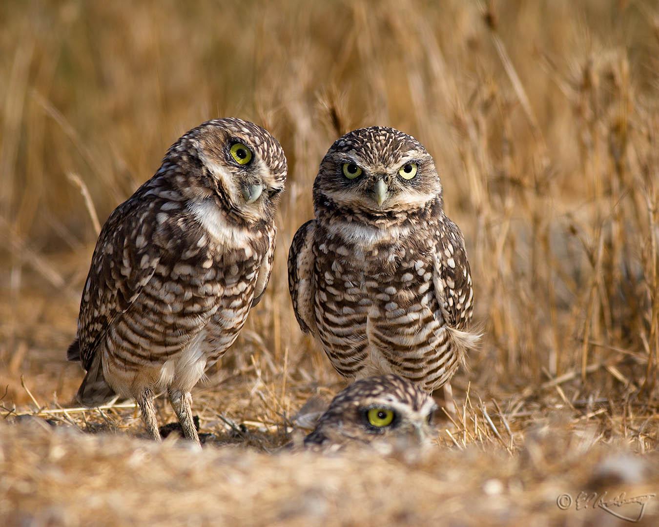 Burrowing_Owls_17-c59
