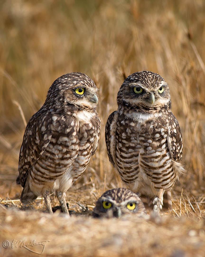 Burrowing_Owls_18-c66