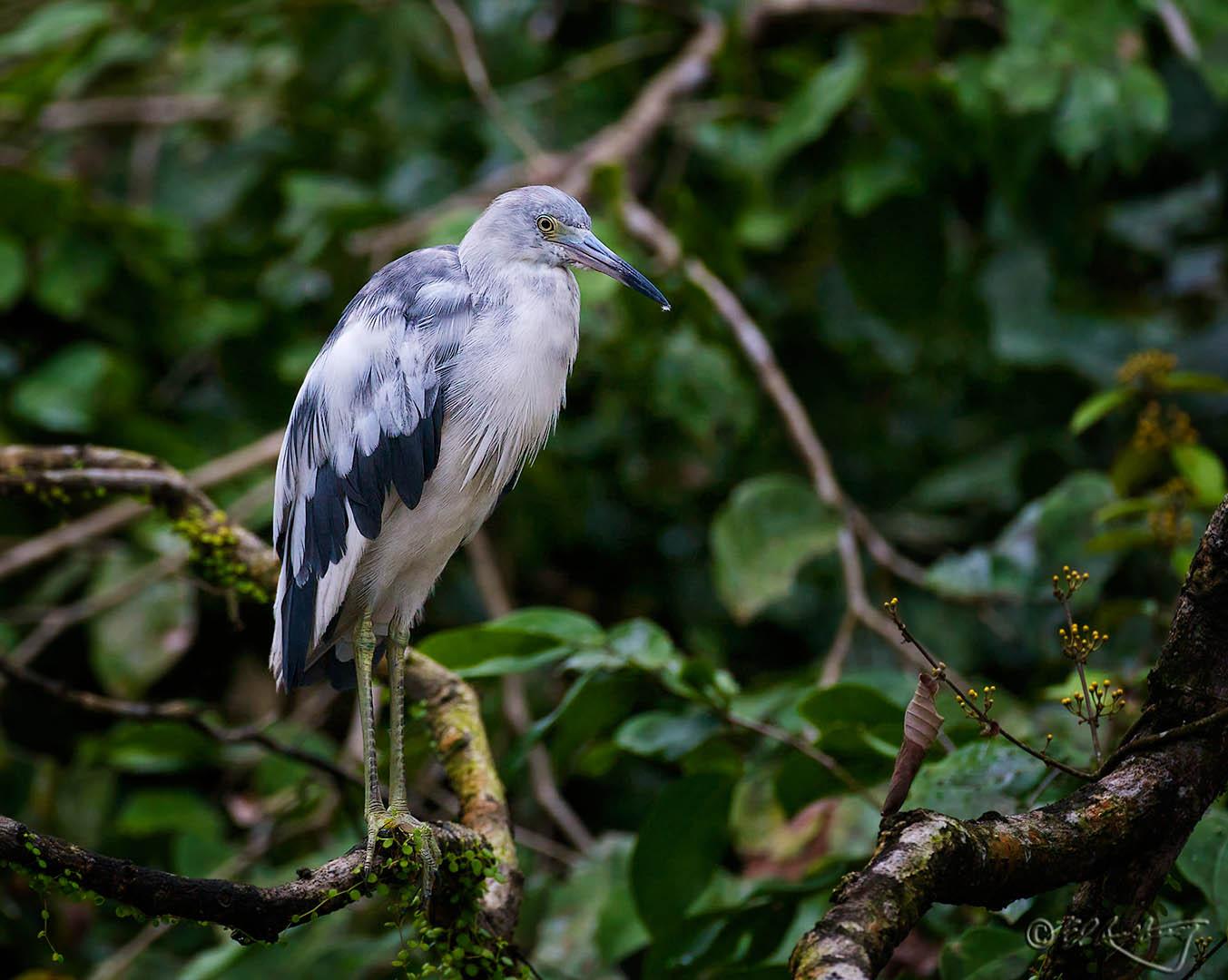 Juvenile_Little_Blue_Heron-c2
