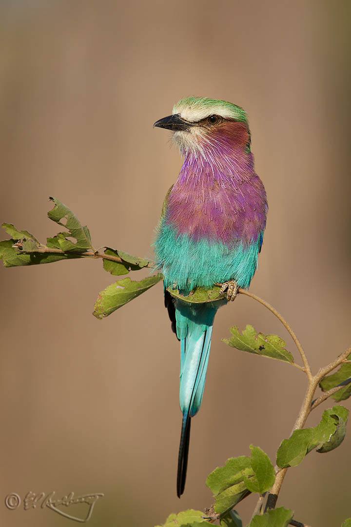 Lilac-breasted_Roller-c13