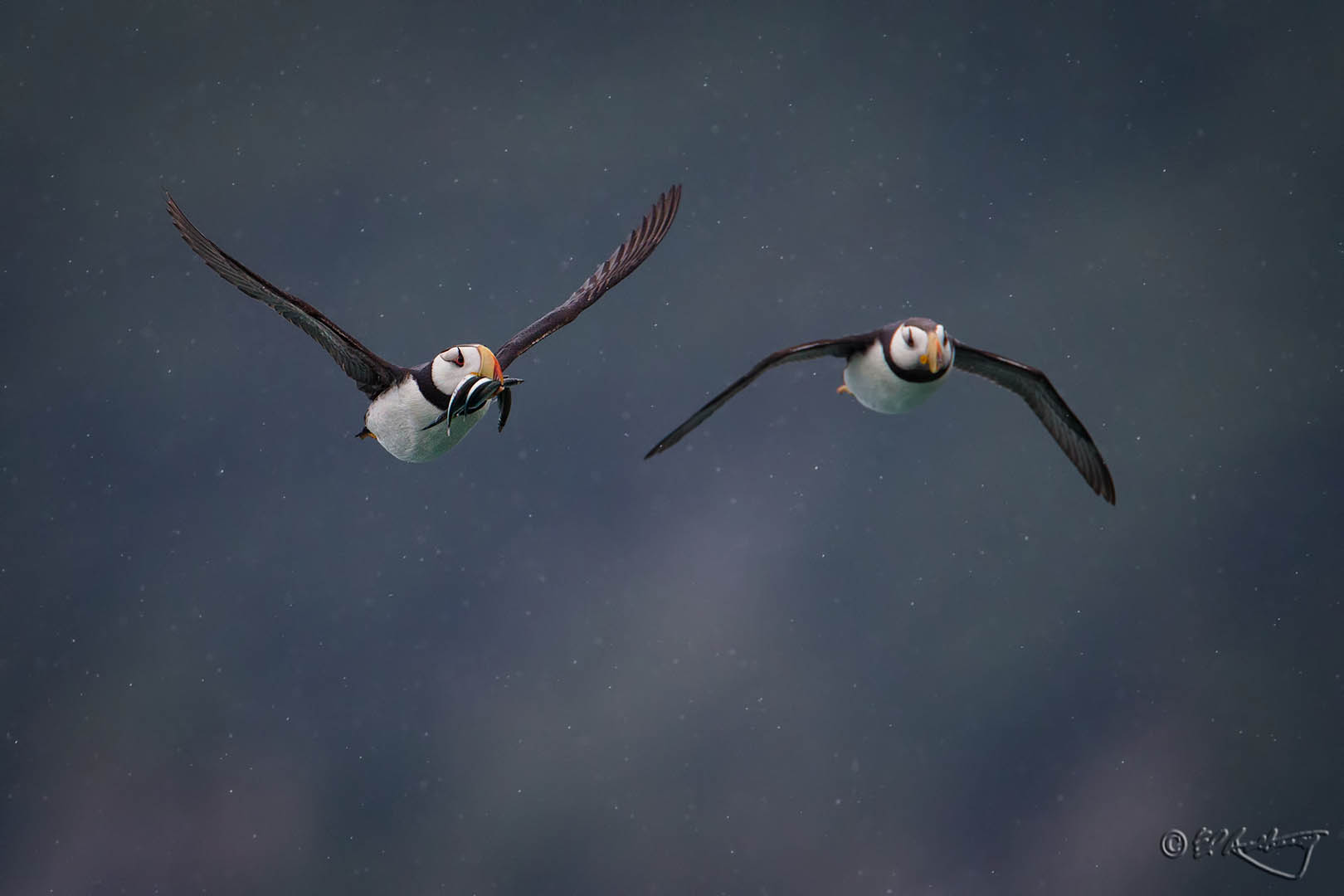 Pacific_Puffin_pair_in_flight
