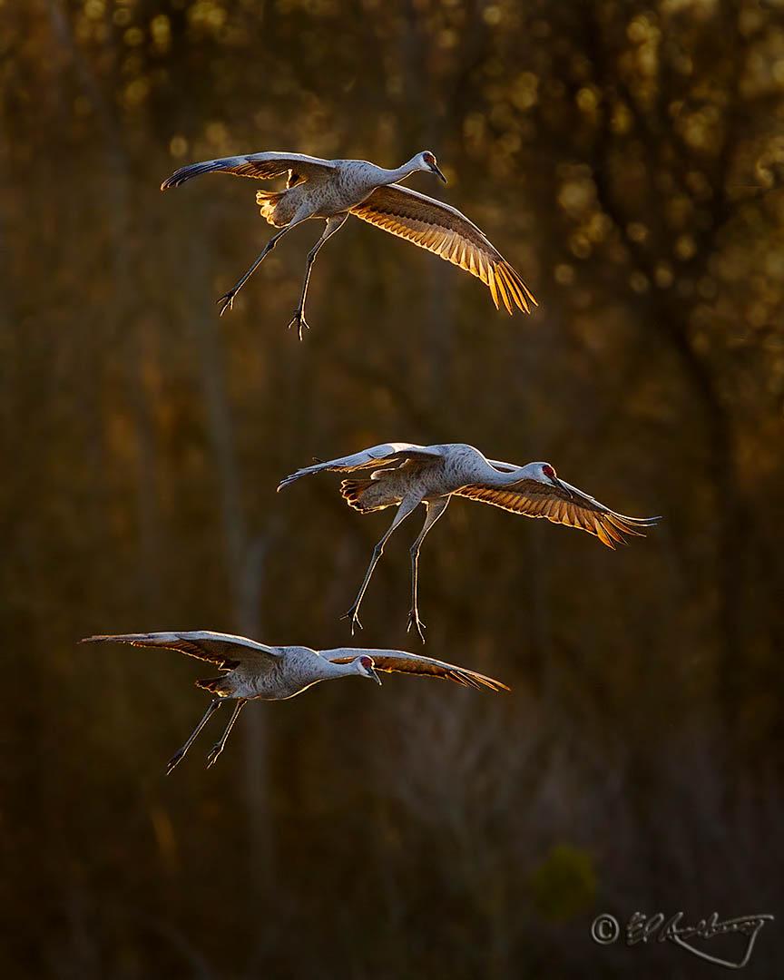 Sandhill_Cranes_sunset_fly-in