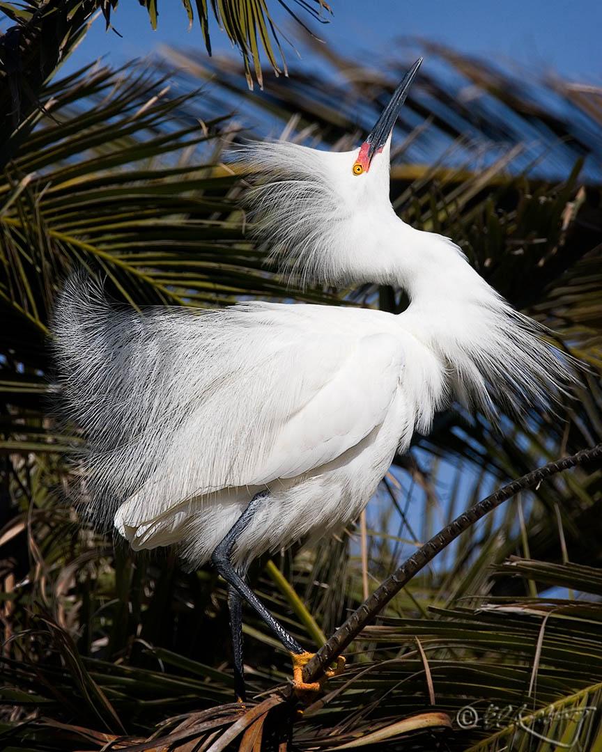 Snowy_Egret_breeding_display