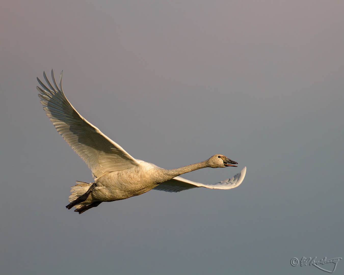 Trumpeter_Swan_in_flight-c88