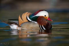 Mandarin_Duck_drake