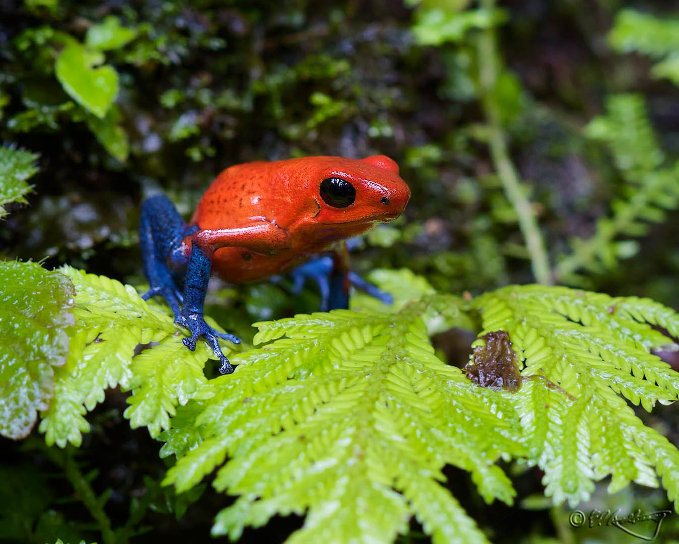 Blue_Jeans_Frog