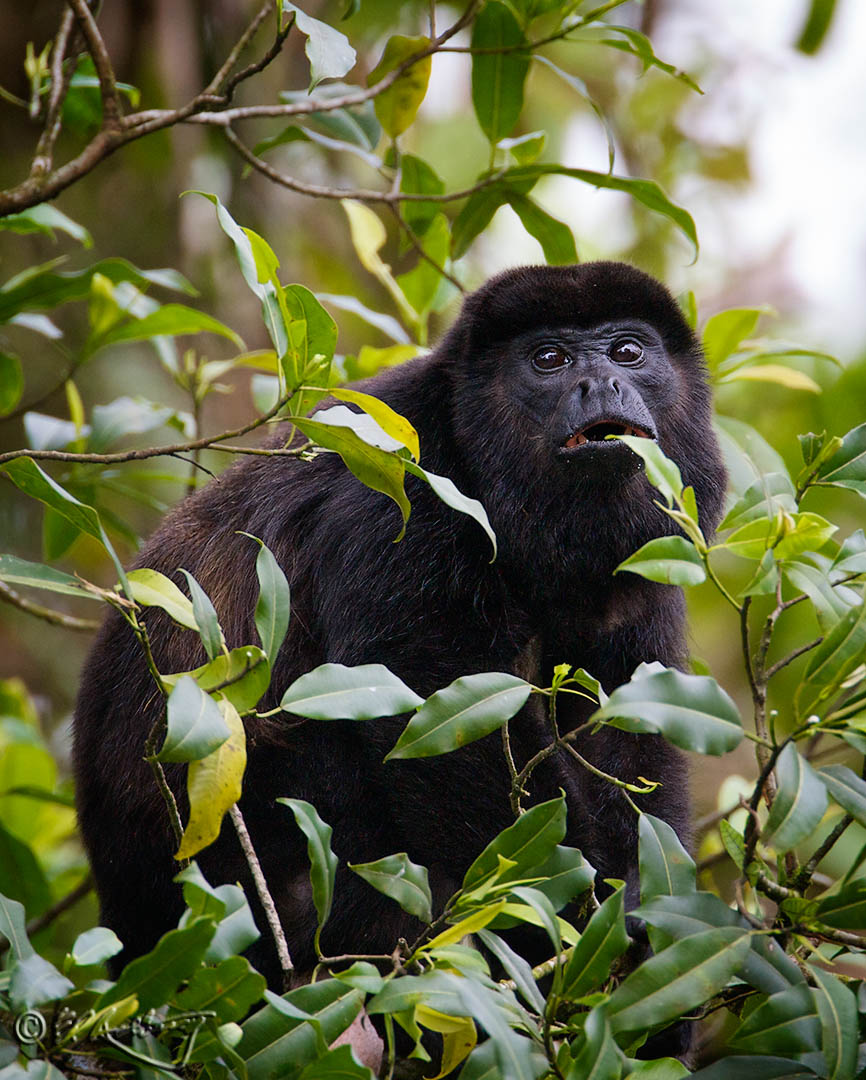 Mantled_Howler_monkey_male