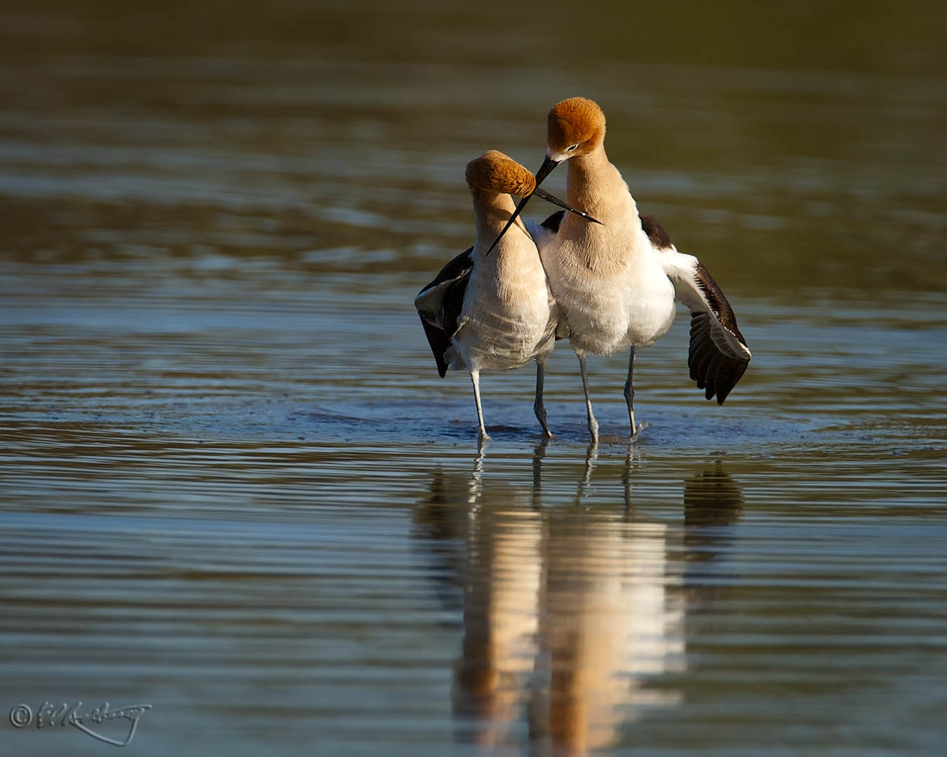 American_Avocets_post-mating