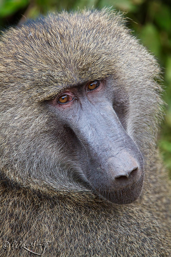 Baboon_male_portrait