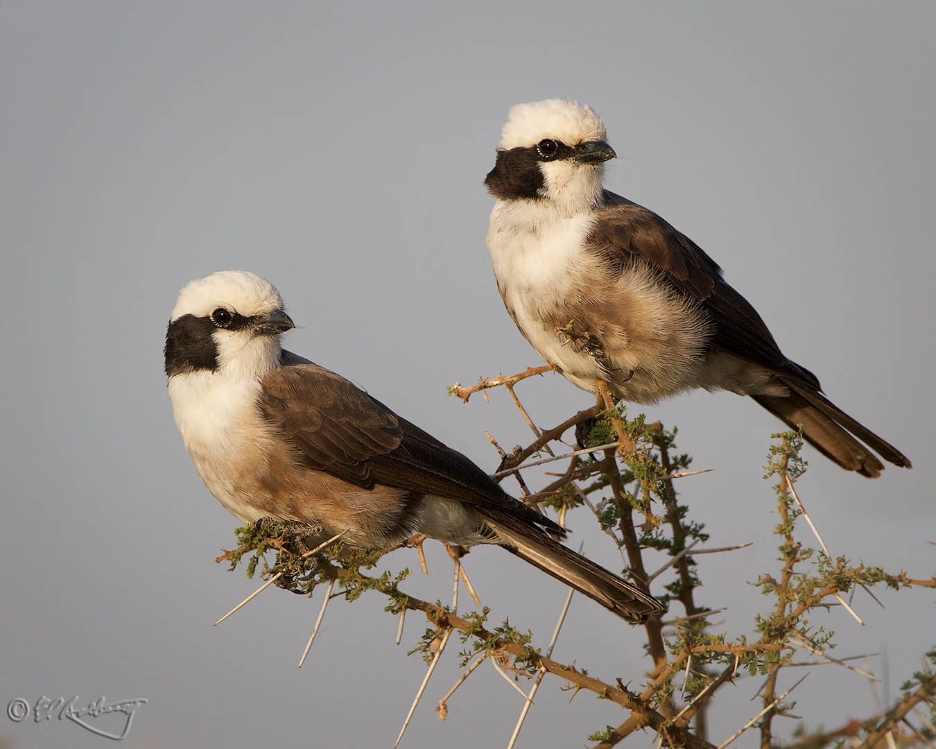 White-crowned_Helment_Shrike_pair