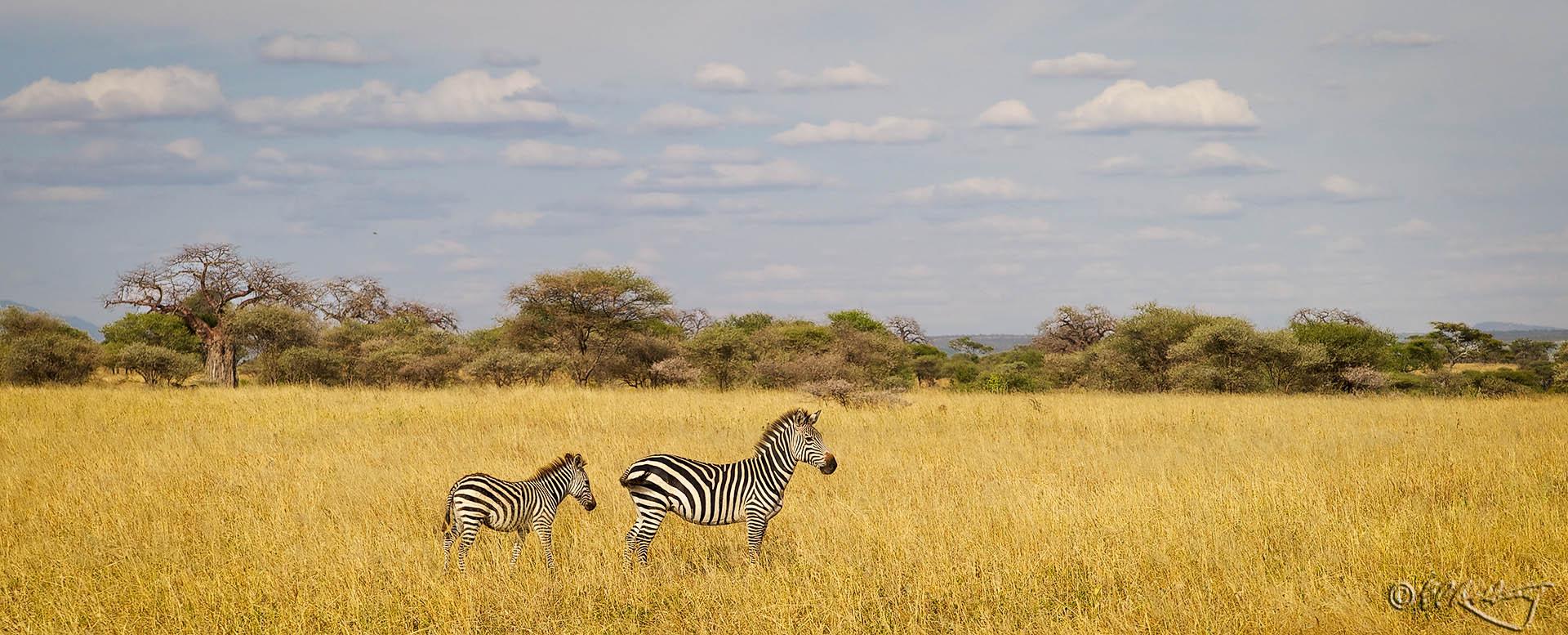 Zebra_Pano