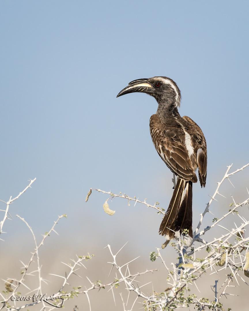 African_Grey_Hornbill