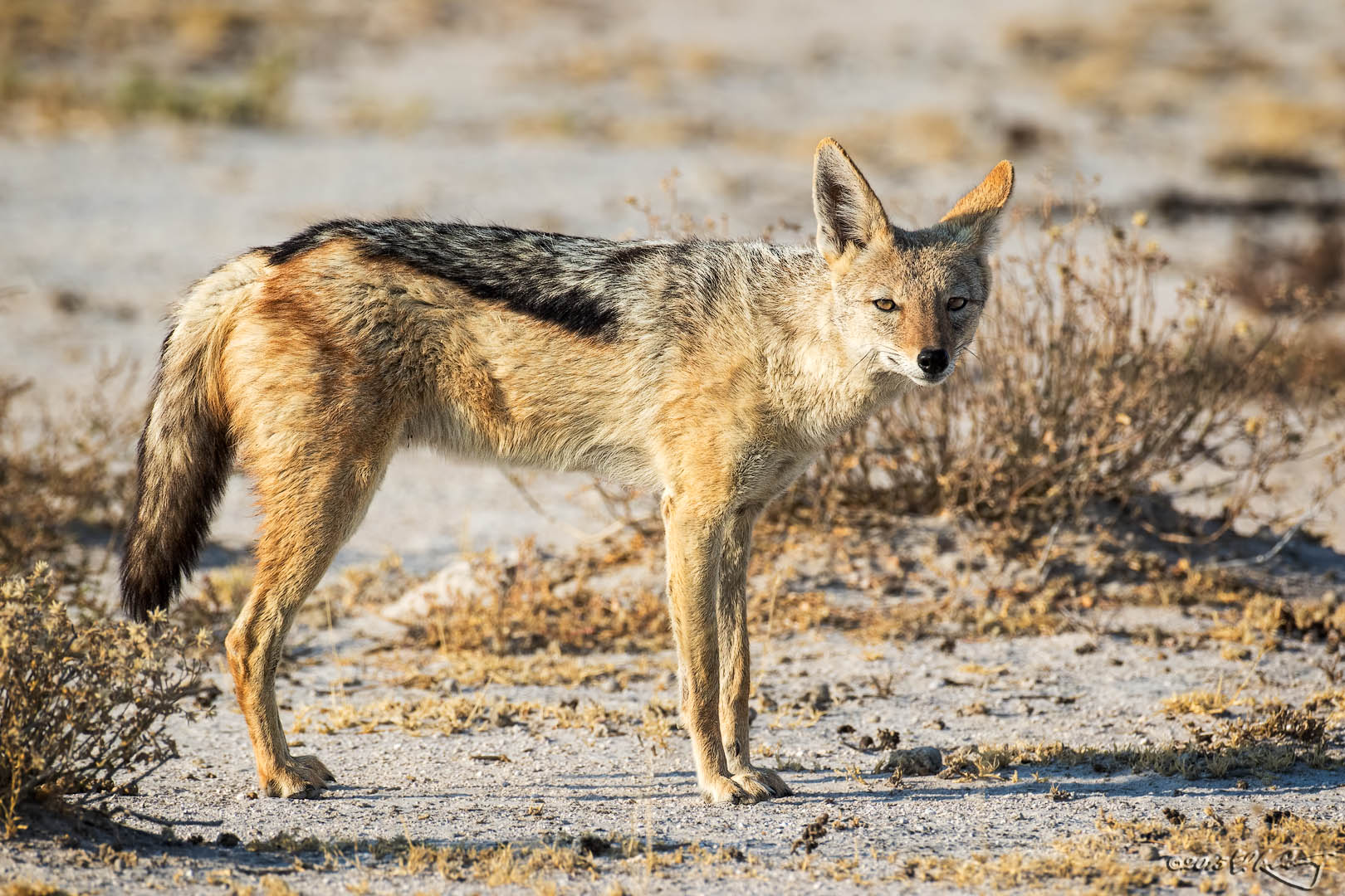 Black-backed_Jackal
