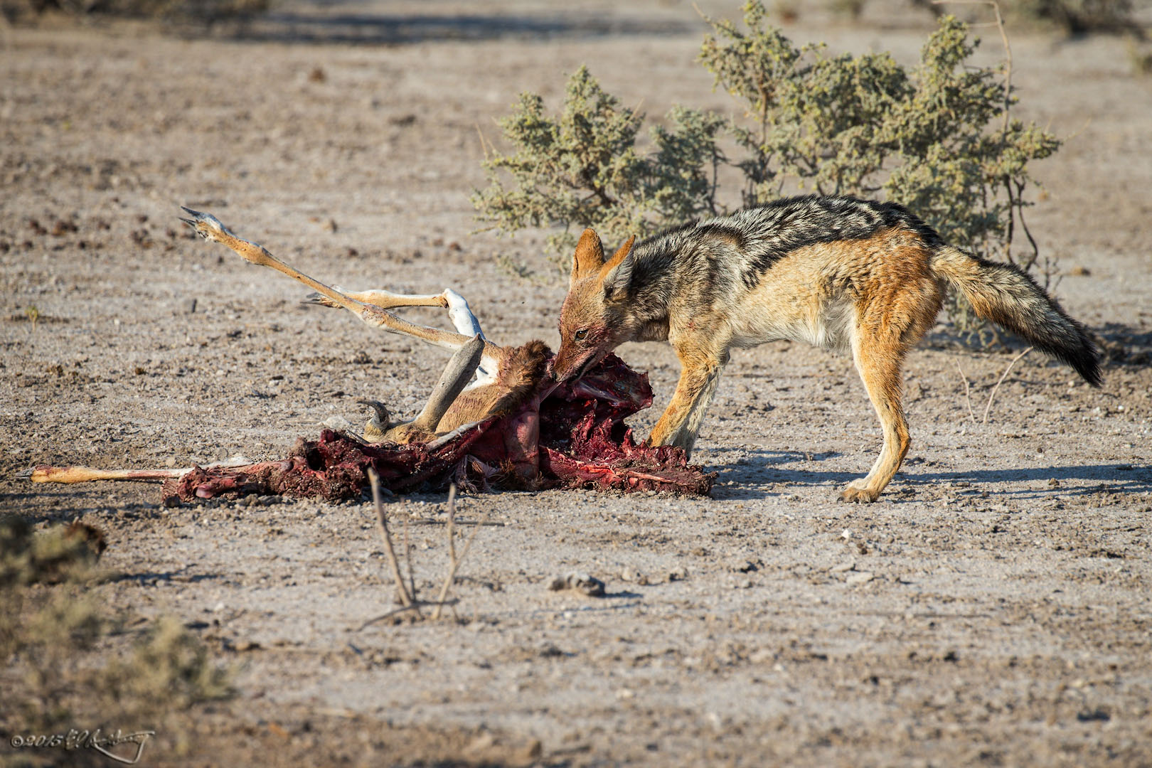 Black-backed_Jackal_tears_at_Springbok_carcass