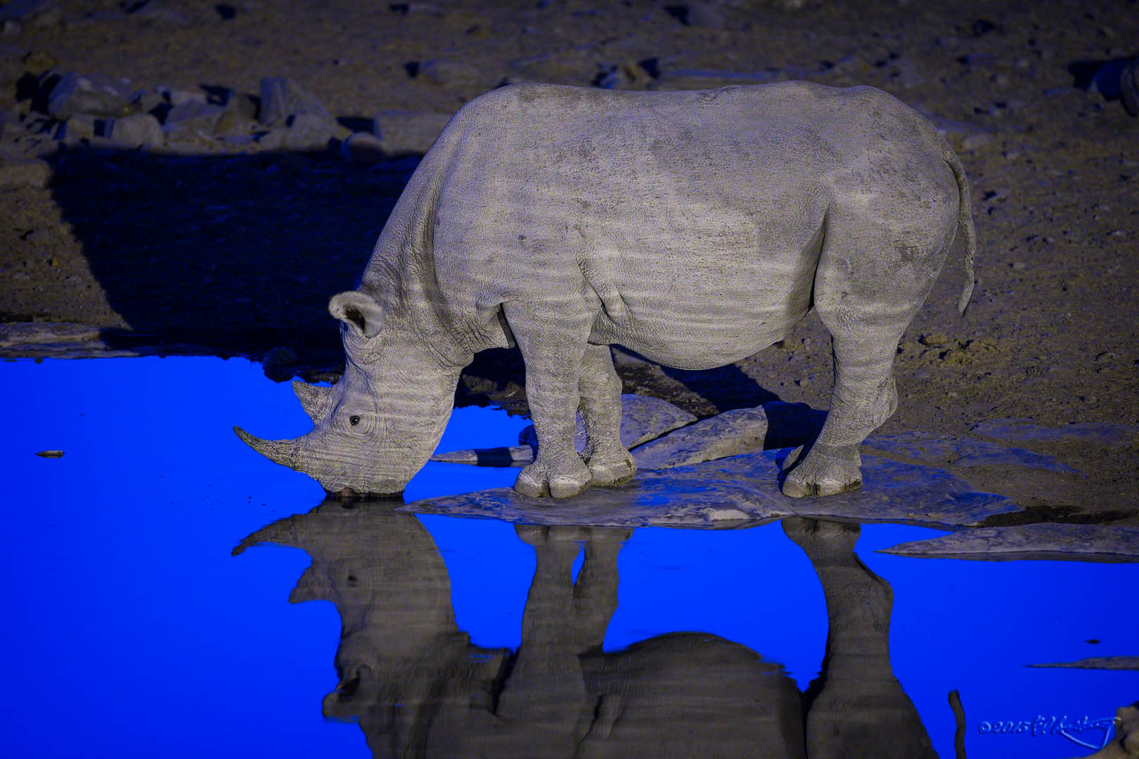 Black_Rhino_at_dusk